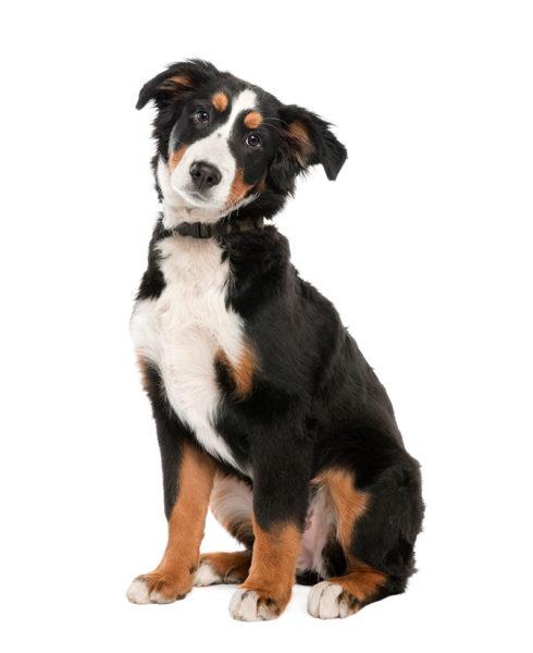 Hond-witte achtergrond